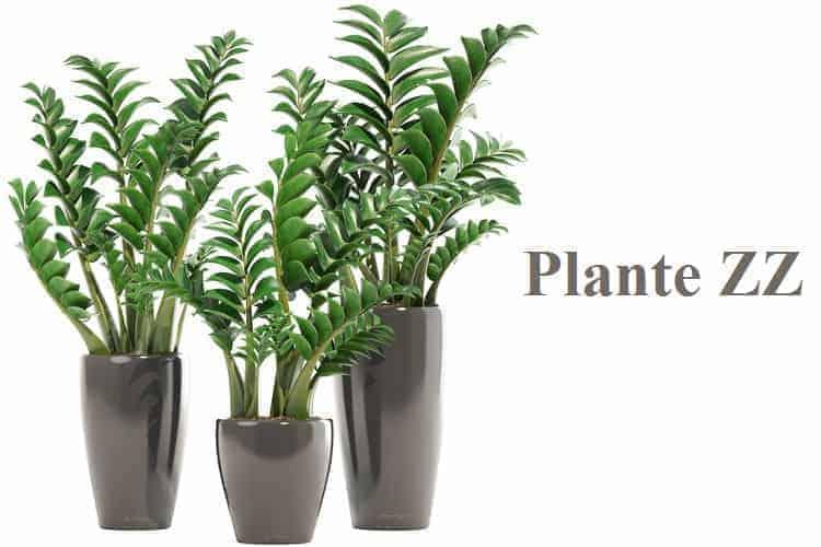 zamioculcas plante sans avoir la main verte