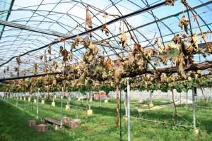 農家「電源を切られ巨峰の木が枯れ5年分の売上2千万円が消滅した。本当に悔しい。」