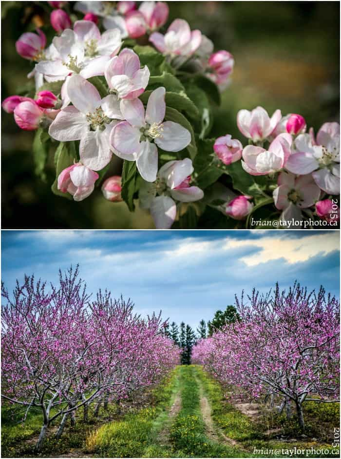 Annapolis Valley Apple Blossoms