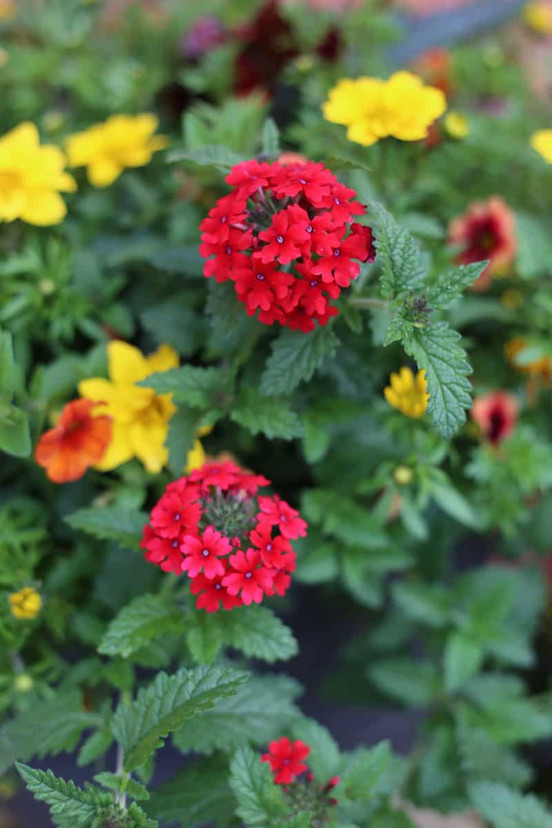 red verbena for #PCGarden