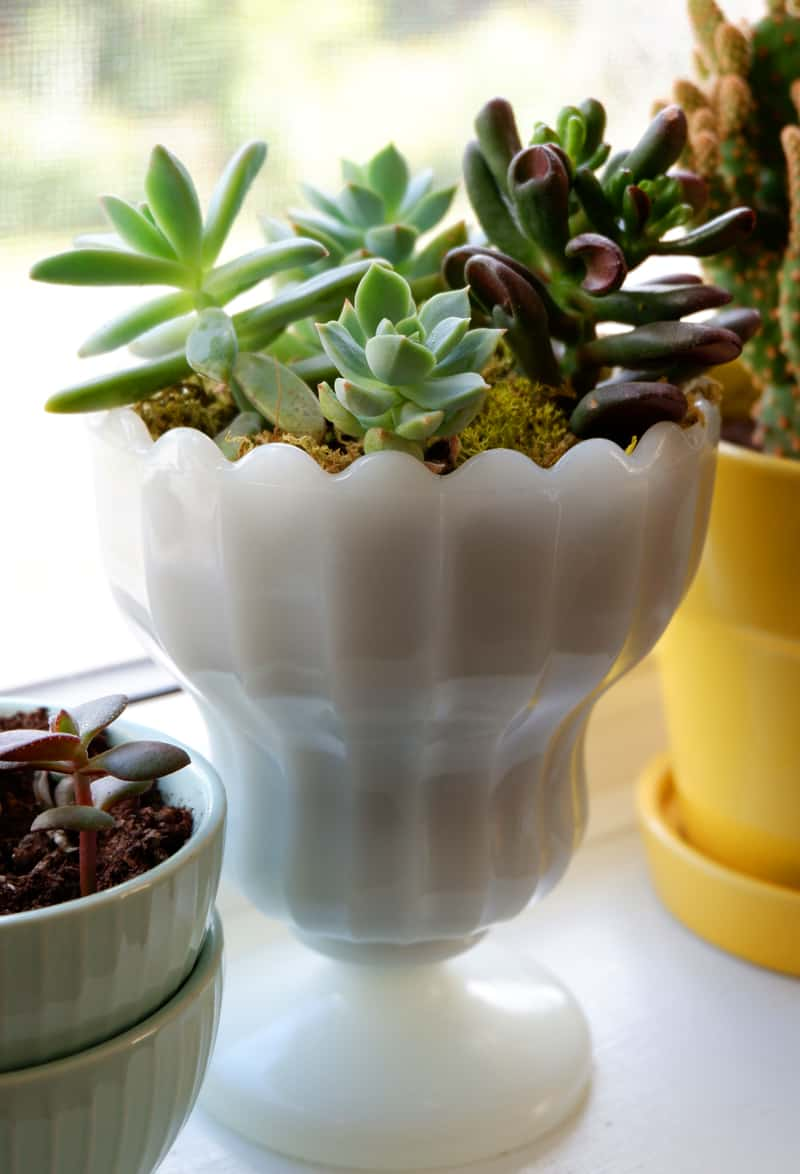 Succulents planted in vintage milk glass
