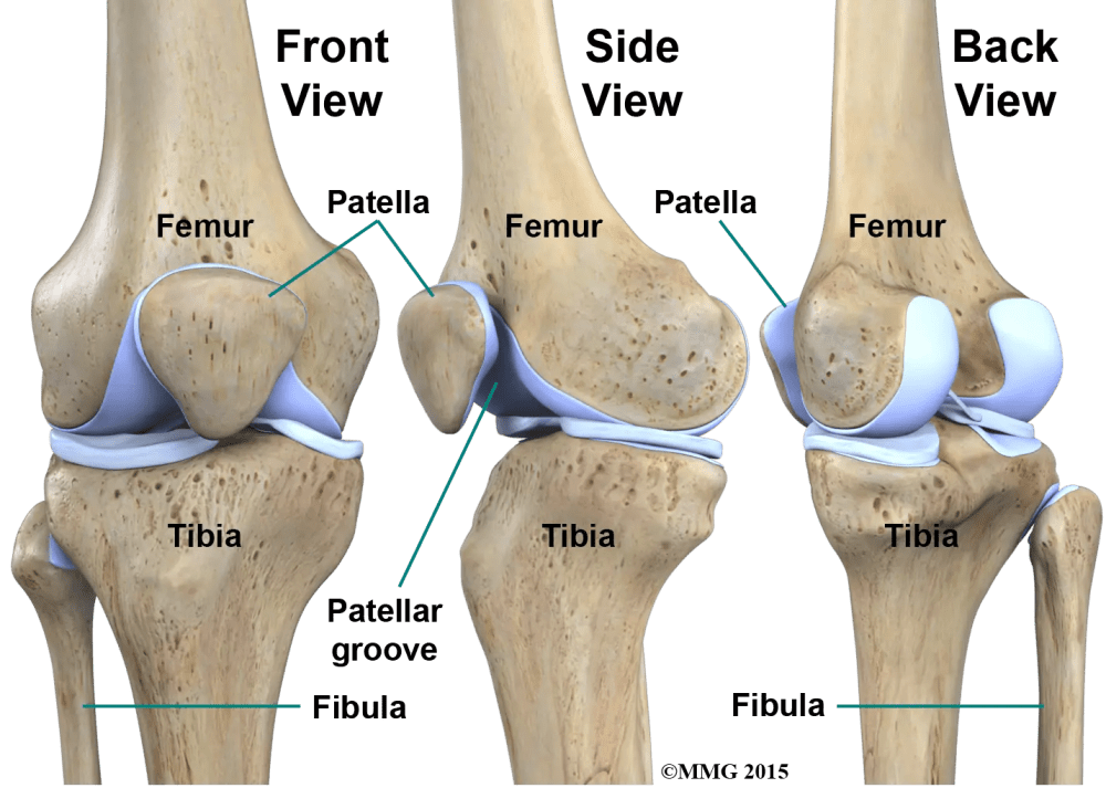 medium resolution of  never really enters the knee joint it does have a small joint that connects it to the side of the tibia this joint normally moves very little