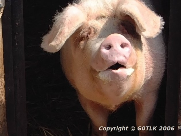 Pig portrait
