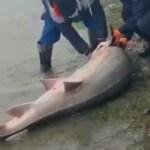 VIDEO Morun de 140 de kilograme eliberat în Dunăre, după ce polițiștii de frontieră au găsit peștele în căruța unor bărbați din Isaccea