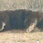 Postarea Ambasadei Suediei după uciderea ursului Arthur: Björn [ˈbjœːɳ] = urs (suedeză, islandeză, neerlandeză, germană)