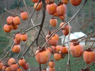 Fructele kaki sunt coapte atunci cand frunzele au cazut deja din copac in cea mai mare parte (octombrie-noiembrie). Creste si se dezvolta cel mai bine in zonele cu ierni moderate si veri relativ usoare.Fructele variaza atat ca forma de la sferica, pana la forma ovala, sau chiar in forma de inima, cat si ca dimensiune de la cateva zeci de grame pana la mai mult de o jumătate de kilogram, in functie de soiul copacului.