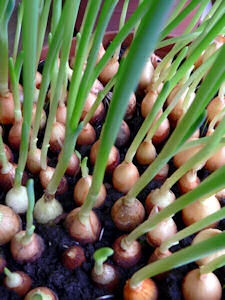 Cultiva ceapa in balcon