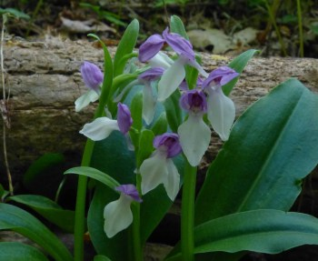 Showy Orchis, Orchis spectabilis,  Photo by Mike Christison