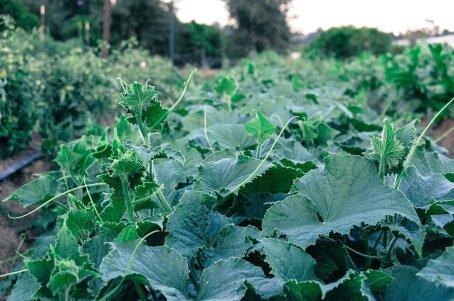 Cucumber 1