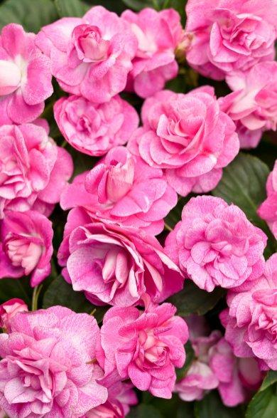 Rosebud Impatiens 2