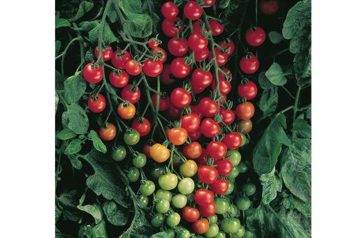 Tomato Cherry 2