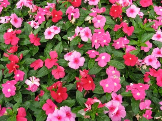 Flowering Vinca- cascading 2