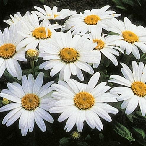 Shasta Daisy 2