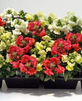 FLATS (48 Plants)