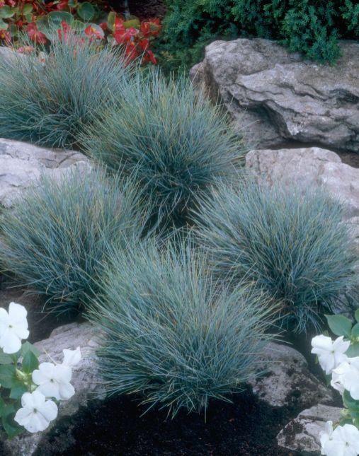 Blue Festuca Grass 2