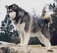 Malamut de Alaska 4