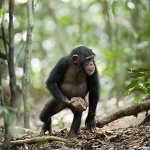 chimpanzee-still06