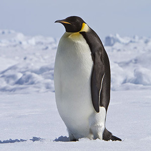penguin_cnt_15jul10_rex_b