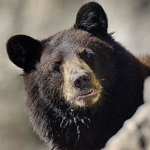 black_bear07