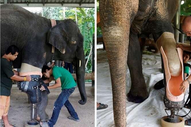 Elefante que perdeu perna em mina terrestre ganha prótese