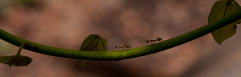 Ants marching out along a branch in Darwin, Australia