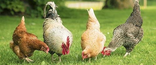 """Résultat de recherche d'images pour """"volaille fermier"""""""