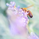 abeille fleur