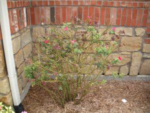 Hope Springs Eternal Rosa Redrazz pic 4