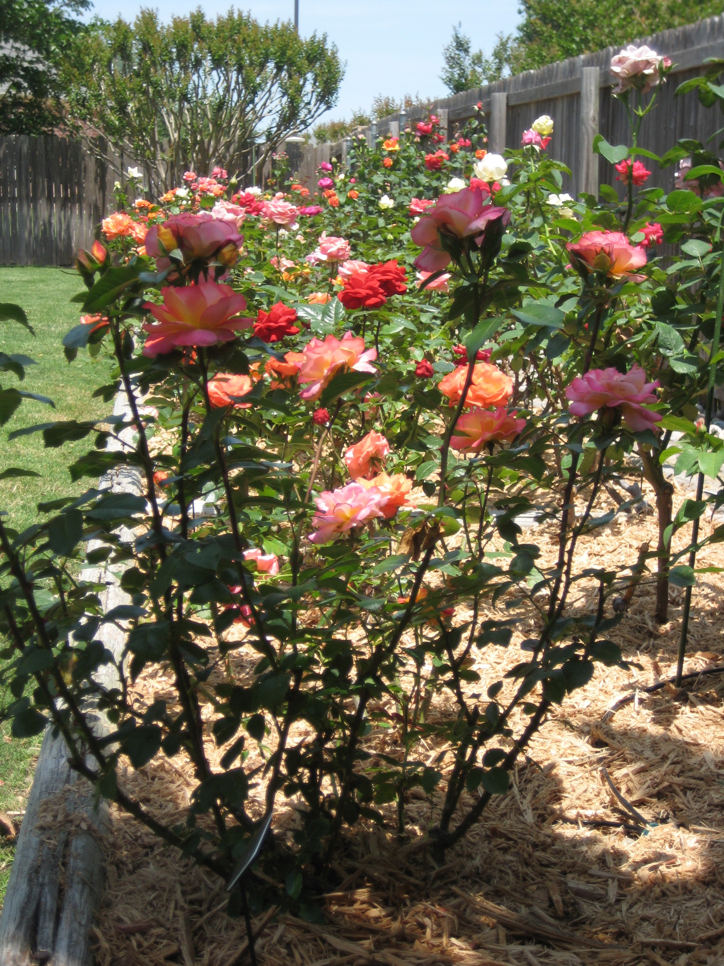 Converting Clay Soils, How Mark Chamblee Roses Does It – Gaga\'s Garden
