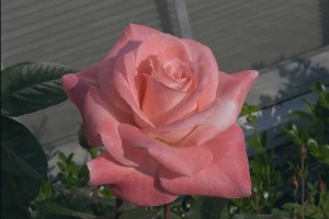 Barbara Bush, Hybrid Tea Rose Gagasgarden
