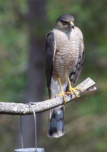 Hawk Feeds at the Bird Feeder & in the Yard