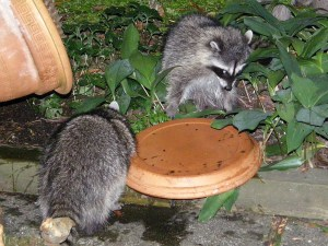 Raccoon family visit at bird bath