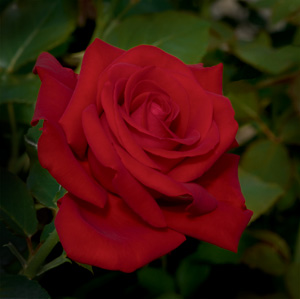 Drop Dead Red Floribunda Rose