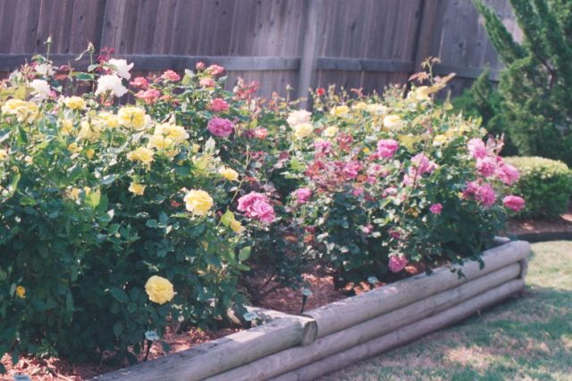 Gaga's Rose Garden in Bloom