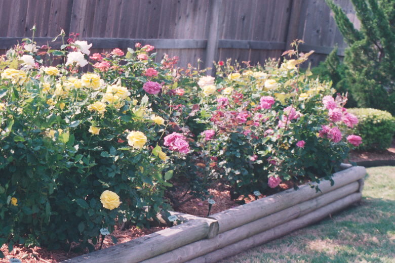 Gaga's Rose Garden in Bloom