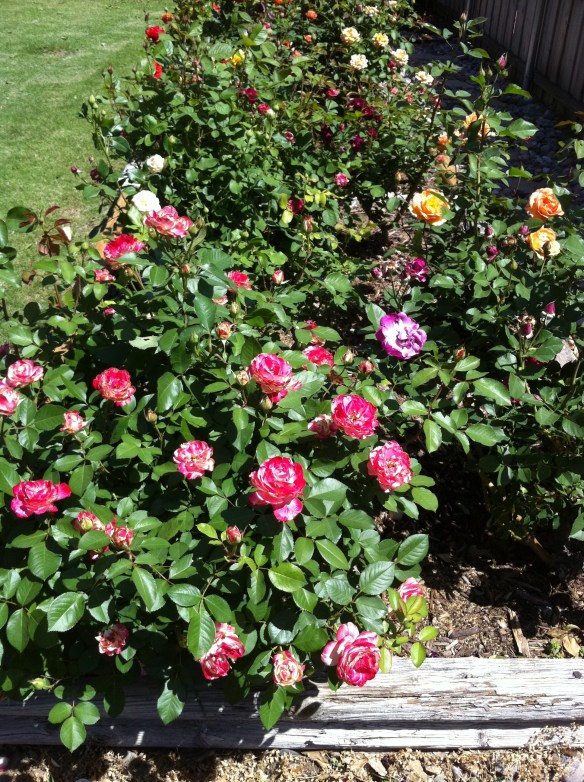 Rose Garden in Bloom