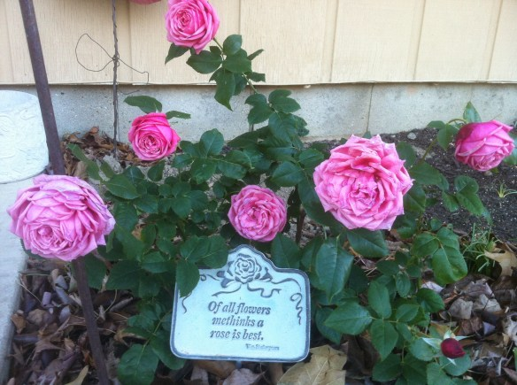 First rose planted in new floribunda bed