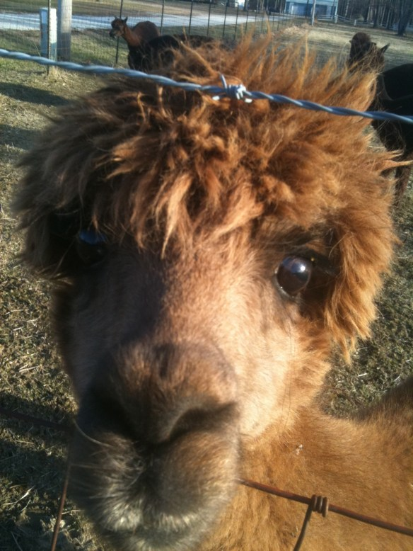 This is my neighbor, he get's 'cause he pays attention! OUI call him Lyle Lovett Llama
