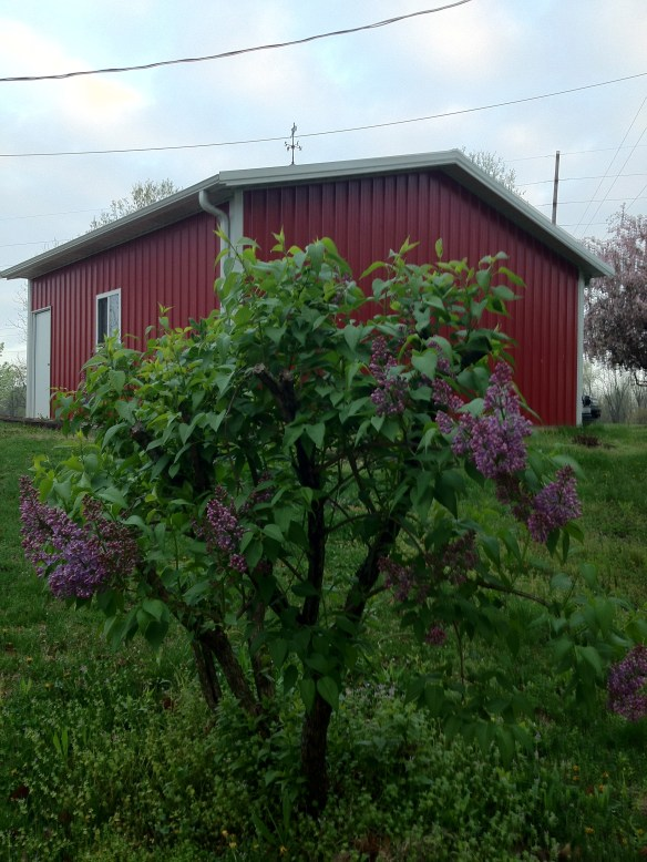 Saved Lilac Bush at Gaga's Garden