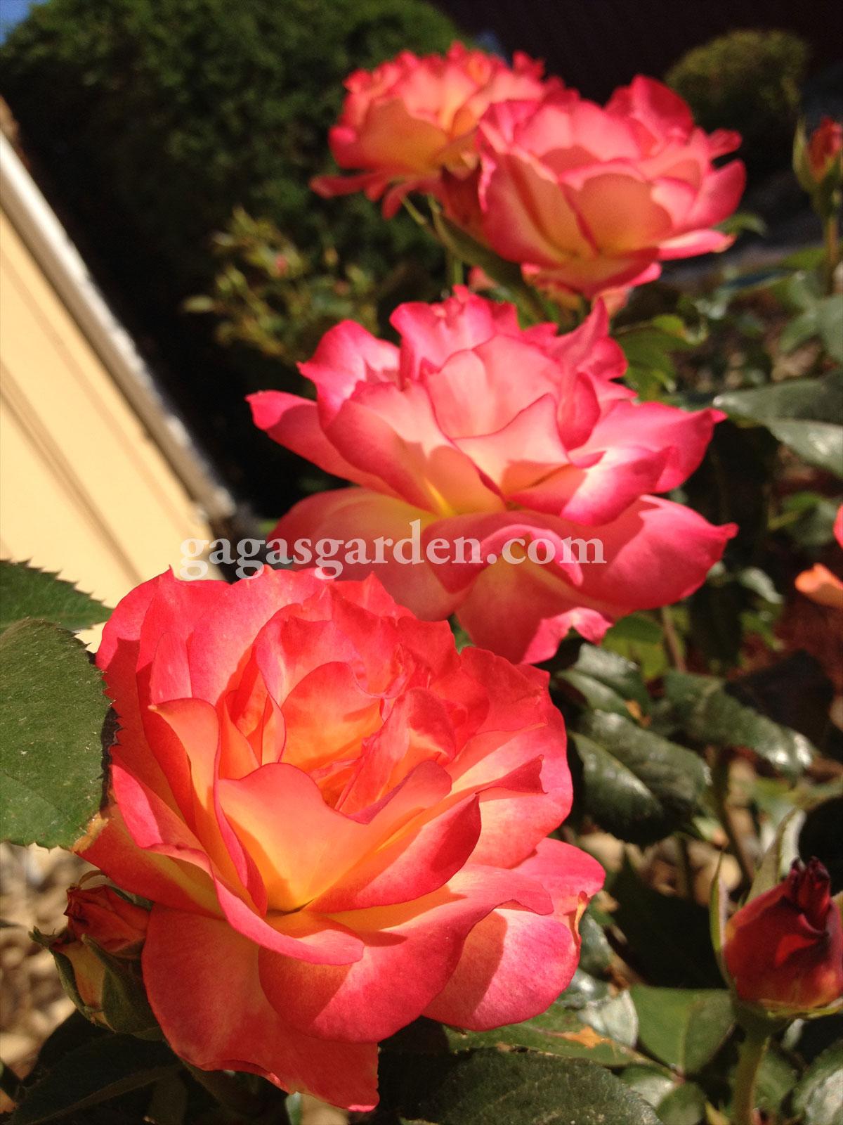Roses, Rain and Rainbows – Gaga's Garden