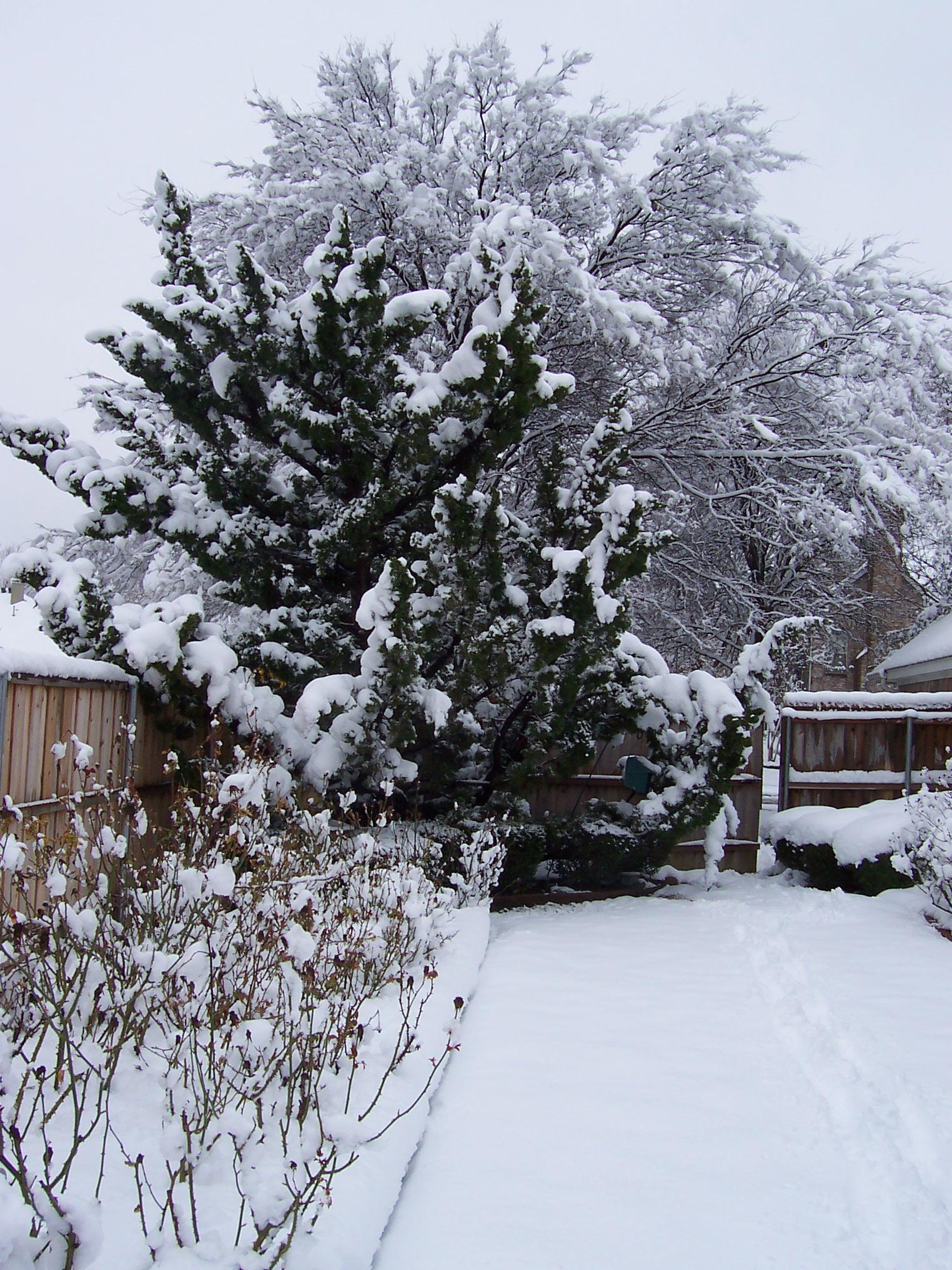 Rose Garden Draped in Snow