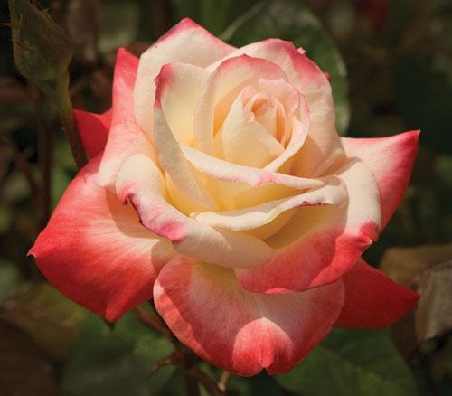 Gemini, photo Weeks Roses