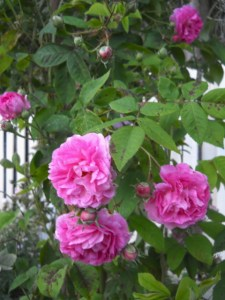 Seven Sisters, Old Garden Rose photo by Sue Tiffany