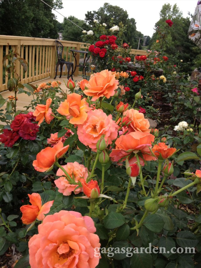 Back Yard Rose Garden with Elevated Deck and an inviting Bistro