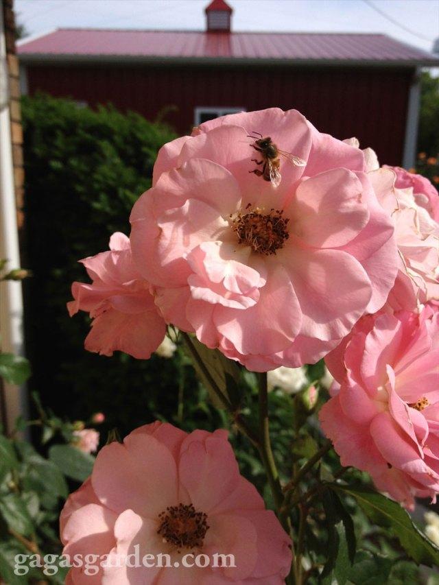 Kimberlina with a Bee 2013