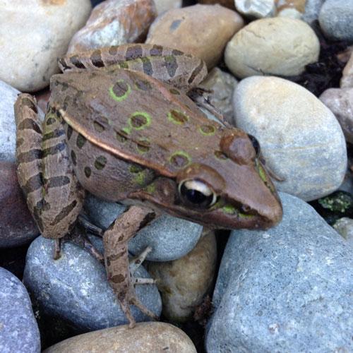 Garden Frog