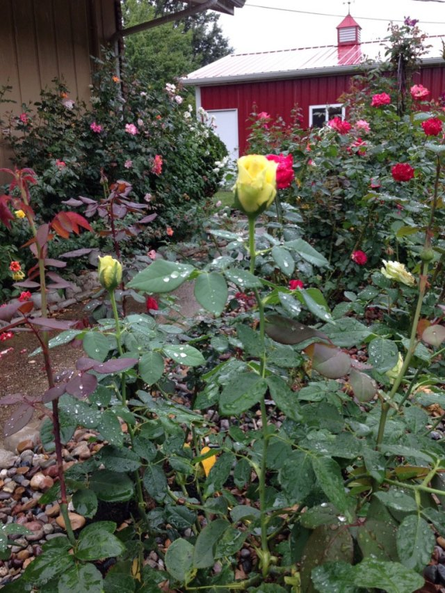 October Rose Garden