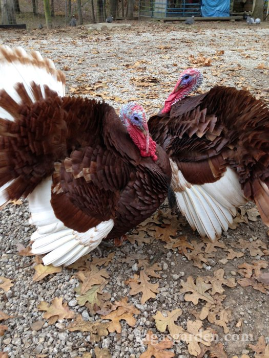 Pet Turkeys George Washington and his Brother Harry on my Neighbor's rescue farm