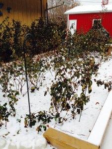 Rose Garden in The Winter