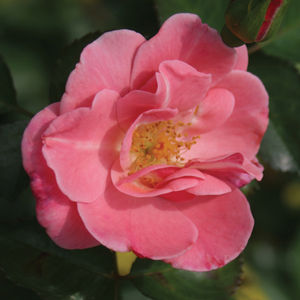 Oso Happy 'Pink Cupcake'